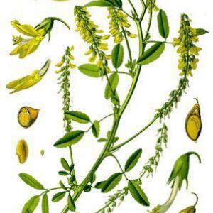 Буркун лікарський - melilotus officinalis
