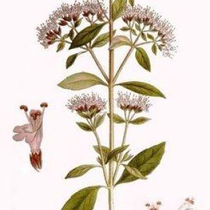 Материнка звичайна - origanum vulgare l.