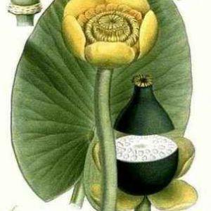 Кубишка жовта - nuphar lutea (l.) smith