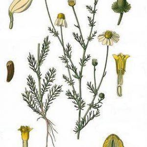 Ромашка аптечна - matricaria chamomilla l.