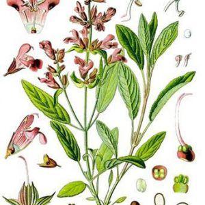 Шавлія лікарський - salvia officinalis