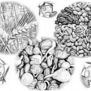 Жиророзчинні вітаміни - вітамін e (токоферол - «потомство несе»)